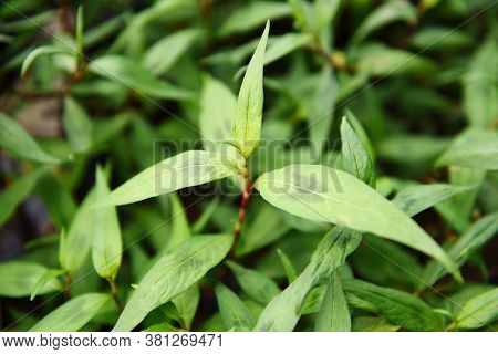 Vietnamese Coriander Herb And Vegetable / Vietnamese Mint In The Garden