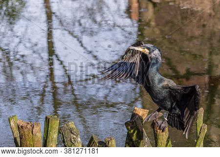 Common Cormorant Dries The Plumage Resting On Branches That Emerge From The Water Of A Pond
