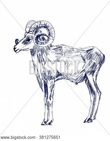 Mountain Ram, Graphic Black And White Drawing On A White Background, Zoological Sketch
