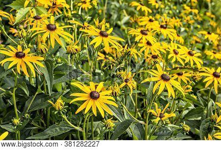 Black-eyed Susan Flowers, Rudbeckia Hirta, In Beautiful Garden. Selective Focus With Narrow Depth Of