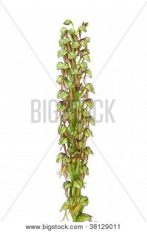 Man Orchid - Aceras Anthropophorum