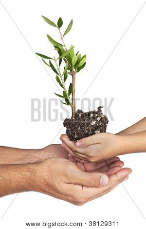 2 Pair Of Hands Holding Olive Plant