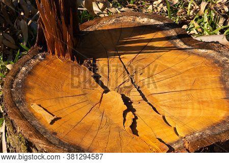 Tree Trunk Of Sawn And In Natura Eucaliptus 04