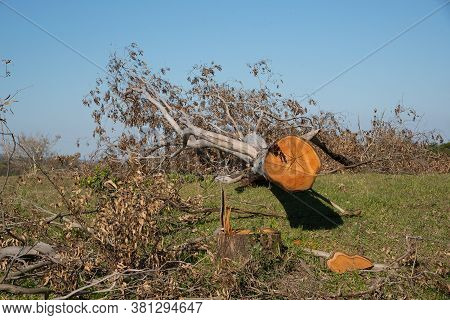 Tree Trunk Of Sawn And In Natura Eucaliptus 02