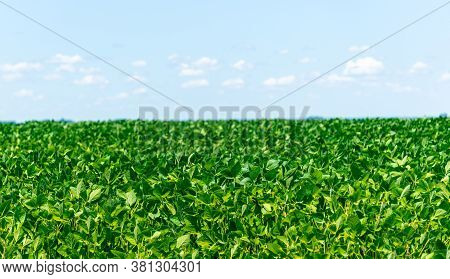 Soybean Crop Under Grain Filling Stage And Blue Sky In The Background