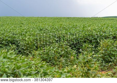 Soybean Crop In The Stage Of Grain Maturation