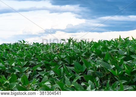Soybean Crop (glycine Max) In The Stage Of Grain Formation And Maturation