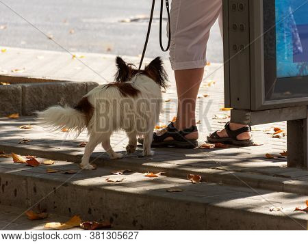 Continental Toy Spaniel Is On A Leash With The Mistress View From Behind. The Papillon Variety. Rand