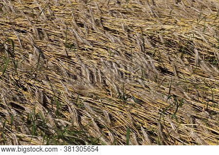 Mature Yellowed Cereals On Agricultural Land, Farming For Yield And Profit, Money In Agriculture For