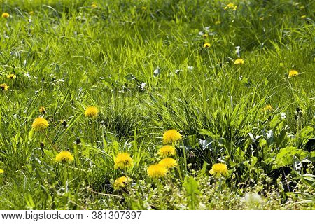 The Spring Time Of Year With Green Grass And Yellow Dandelions Close-up On Nature In The Spring Seas