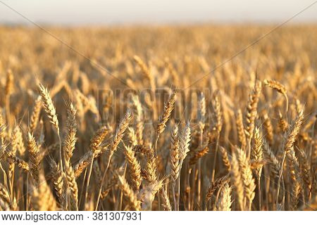 Wheat Field.natural Vegetable Background. Yellow Ears Of Wheat In The Field. Close-up, Horizontal, N