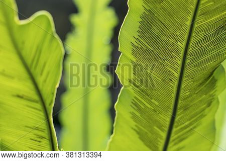 Spores Of Bird's Nest Fern,raindrops On The Leaves Of Bird's-nest Fern, Asplenium Nidus.