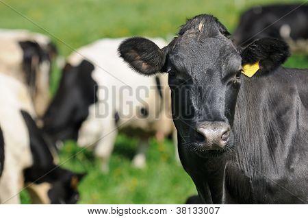 Black Cow Close-up Looking At Camera