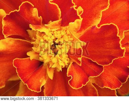 Marigold Flower Close Up. Bright Red Petals With A Yellow Border, Pistils And Stamens. High Detail.