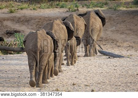 Back Landscape View Of An Elephant Family With Adults And Babies Walking Across Dry Riverbed In Samb