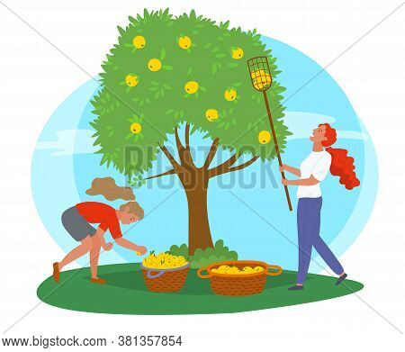 Young Girls Near Tree Picking Yellow Apples With Fruit Picker And Putting Them In Straw Baskets Isol