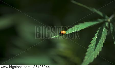 Ladybug Insect. (latin Coccinellidae) Ladybug On Cannabis Leaves.the Beetle Is Ready For Takeoff.