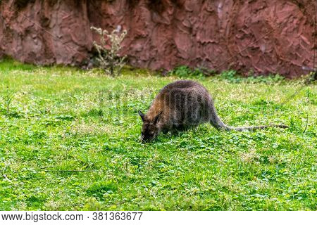 Bennett's Wallaby (macropus Rufogriseus, Aka Red-necked Wallaby) On Green Meadow In Front Of Red/bro