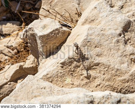 Black Lizard Sitting On A Rock On The Morning And  Basking In The Sun In Mitzpe Ramon, Israel