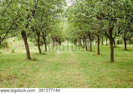 Trees In Orchard Perspective Background. Diminishing Perspective Of Trees In Orchard Background. Agr