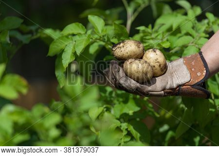 Home Grown Planted Seed Potatoes Held In A Garden Gloved Hand In Front Of The Vibrant Green Leaves O