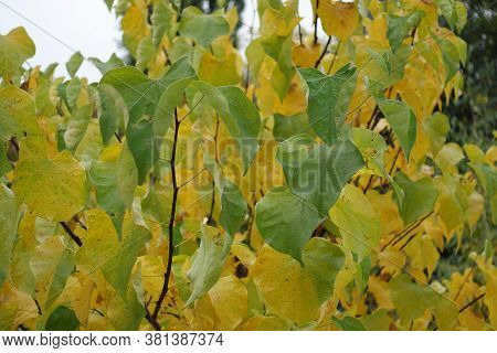 Leafage On Branches Of Cercis Canadensis In October
