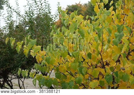 Yellowish Green Foliage Of Cercis Canadensis In October