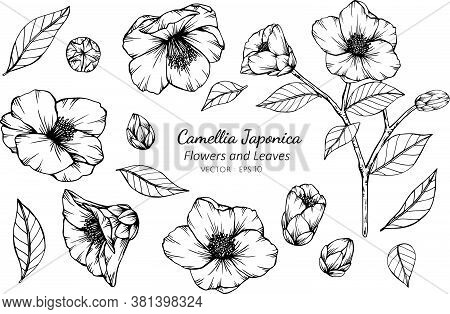 Collection Set Of Camellia Japonica Flower And Leaves Drawing Illustration. For Pattern, Logo, Templ