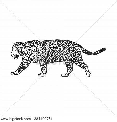 Jaguar. Hand Drawn Sketch Illustration Isolated On White Background. Portrait Of A Jaguar Animal, Ve
