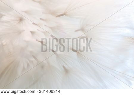 Abstract Background Of Dandelion Seeds In Delicate Shades. Small Depth Of Field. Close-up Macro Imag