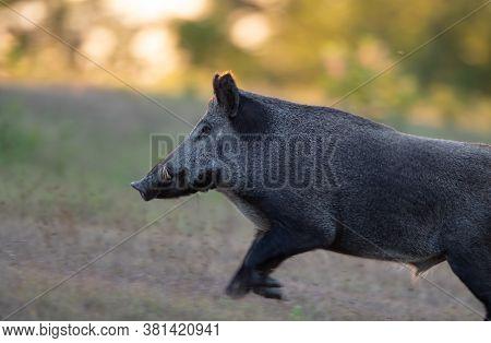 Wild Boar (sus Scrofa Ferus) Running In Forest On Meadow. Wildlife In Natural Habitat
