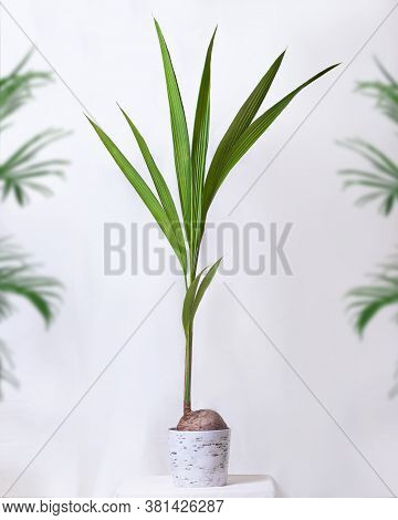 Coconut Cocos Fruit Plant With White Background