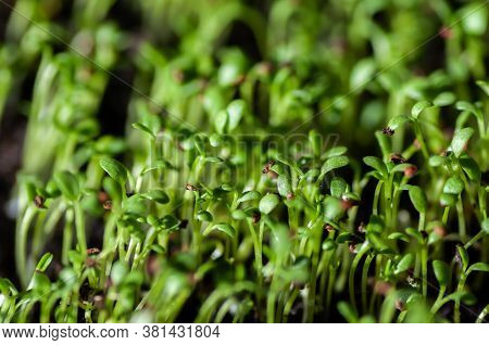 Garden Cress, Young Plants, Macro Photo From Above. Edible Herb. Microgreen. Peppery Flavor And Arom