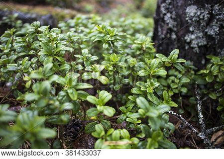 Wet Thickets Of Blueberries On Mossy Ground In The Rain In A Forest In Karelia