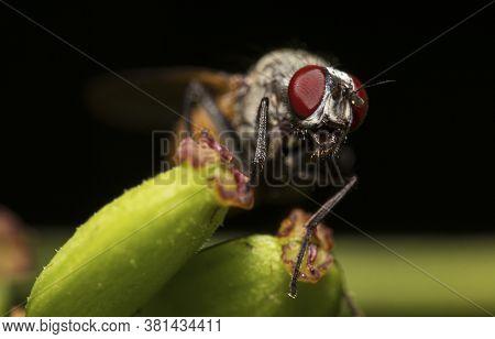 A Macro Shot Of Flesh Fly. Sarcophagidae.
