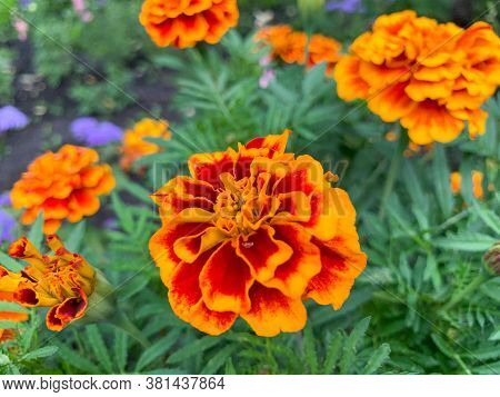 Blooming Marigolds In The Garden. Blooming Bright Orange, Yellow, Lush, Beautiful Flowers In August.
