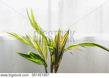 Close-up Of Tiny Palm Tree In Pot Indoor By The Window Shot At Shallow Depth Of Field