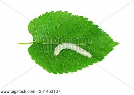Silkworm On Fresh Green Mulberry Leaf Isolated On White Background