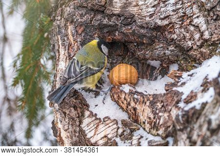 A Tit Sits On A Tree Trunk With Big Nut. Great Tit, Parus Major, On Tree Trunk In Search Of Food In