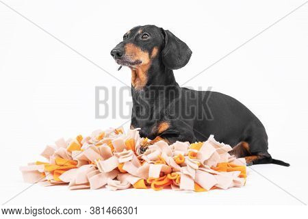 Smart Obedient Dachshund Lies On Soft Washable Snuffle Rag Rug For Hiding Dried Treats For Dogs Nose