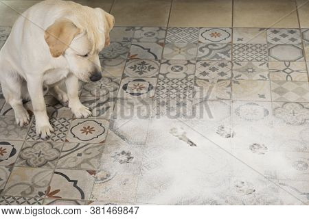 Labrador Dog Looking With Guilty Expression, Sitting Next To Inverted Packet Of Flour Sprinkled On F