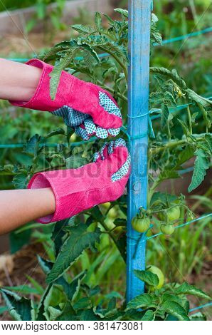 Staking Of Green Tomatoes By Gardener In The Gloves