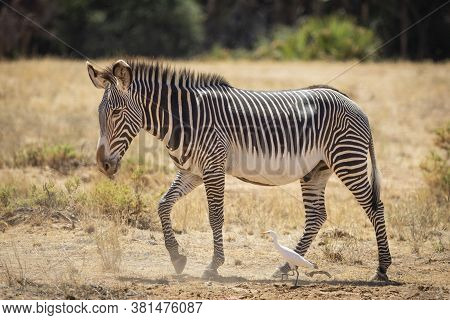Adult Male Grevy Zebra Walking Next To Cattle Egret In Samburu Reserve In Kenya