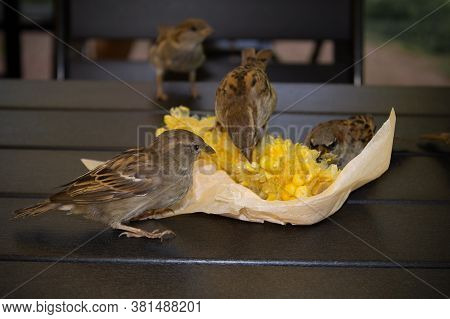 Gray Brown Sparrows Pecking Corn In Paper Packaging On The Table