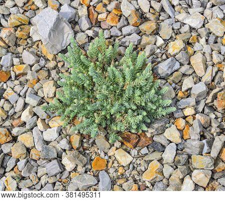 Sedum - Succulent Stonecrop Plant (sedum Creeping Or Sedum Humifusum). Decorative Garden Groundcover