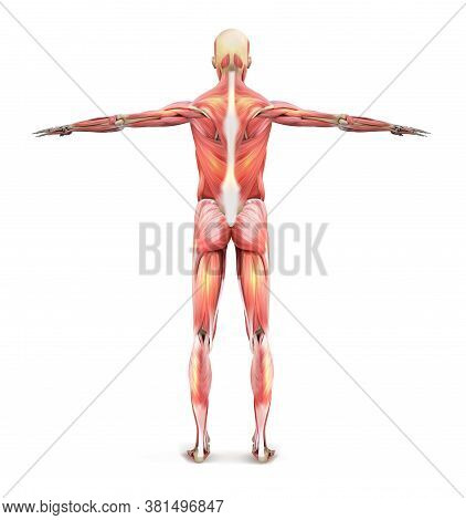 Muscles Of A Man. Human Anatomy From The Back. Vector Illustration.