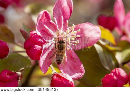 Macro Detail Of A Bee Pollinating Cherry Flowers; Springtime Cherry Blossom And Active Pollinator Be