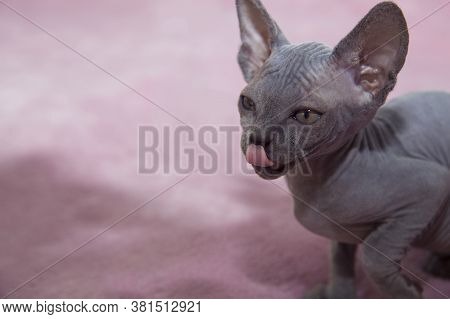 Gray Sphynx Kitten Licks Its Lips. Cat Sits On A Pink Blanket. Sphinx Wants To Eat Pet Food.