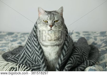 Cat Wrapped In The Rug Or Blanket, Cat Under The Blanket With Serious And Arrogant Funny Face Expres