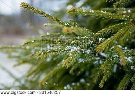 Twig Of Christmas Tree , Spruce, Fir, Fir-tree , Covered Hoarfrost And In Snow In Garden.snow-covere
